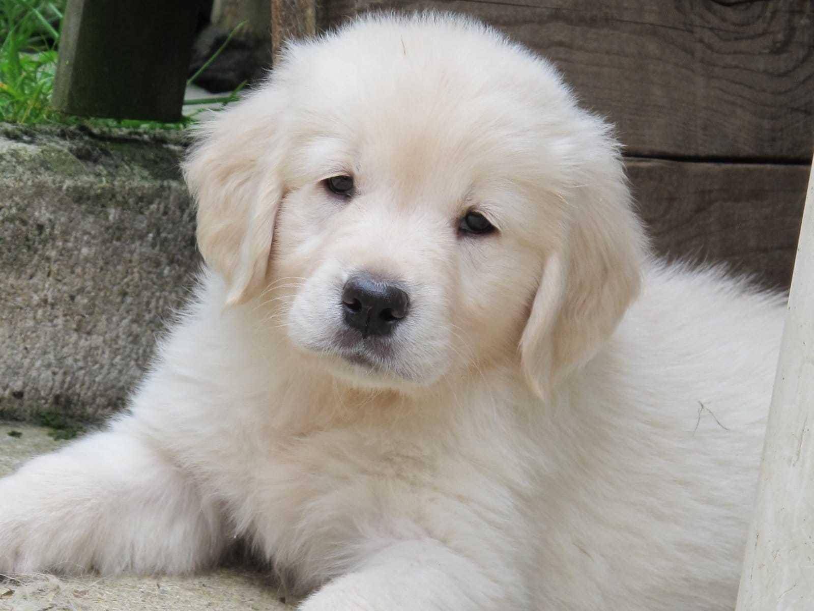 Golden Retriever Welpen Rassehunde Hunde Welpen Haustier Anzeiger