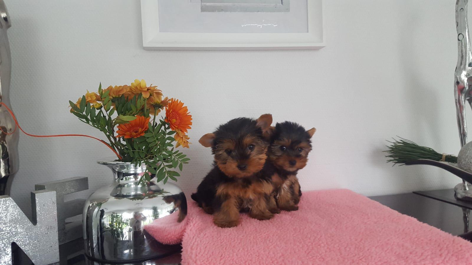 Yorkshire terrier welpen billig kaufen