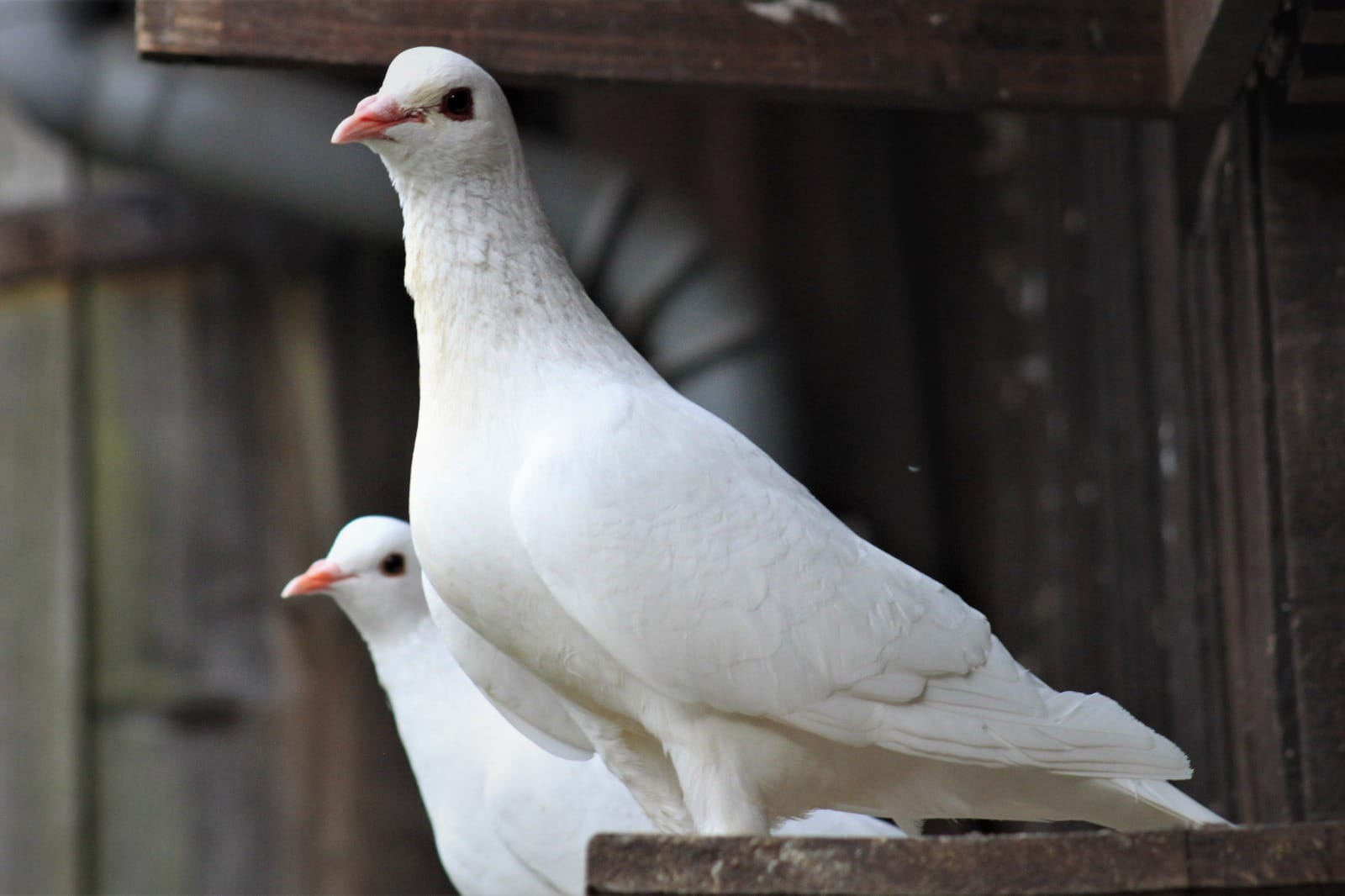 Kleinanzeigen Tauben Gemischt Kaufen Verkaufen Haustier