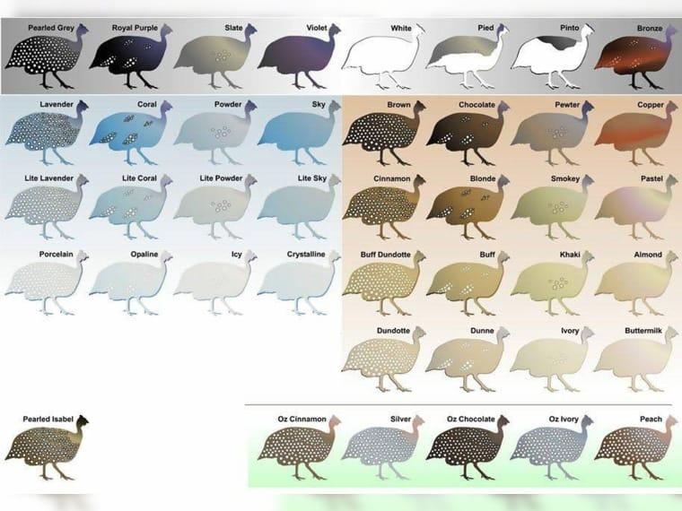 Perlhühner v. farben… (Eichendorf, Niederbayern) - Haustier-Anzeiger