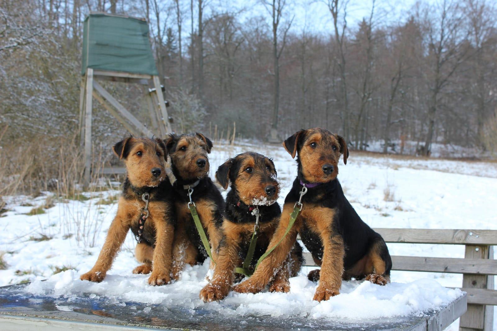Airedale Terrier Welpen - Rassehunde - Hunde / Welpen - Haustier ...
