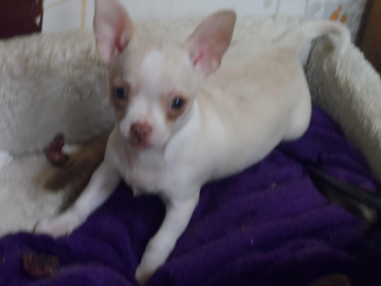 Wunderbar Draht Foxterrier Chihuahua Mix Ideen - Elektrische ...