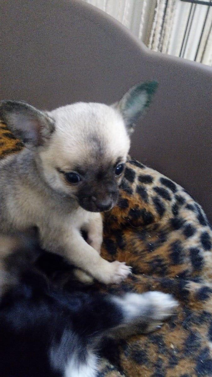 Großartig Draht Foxterrier Chihuahua Mix Bilder - Schaltplan Serie ...