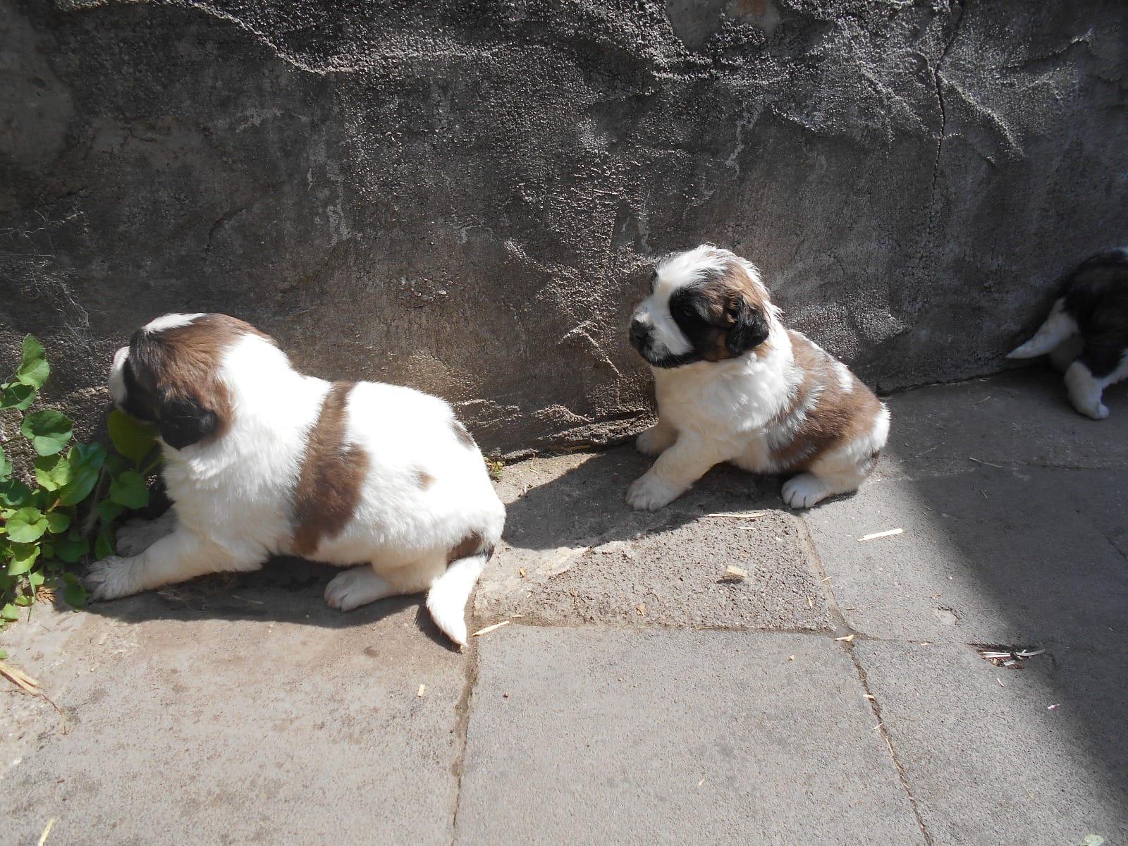 Bernhardiner Welpen - Rassehunde - Hunde / Welpen - Haustier-Anzeiger