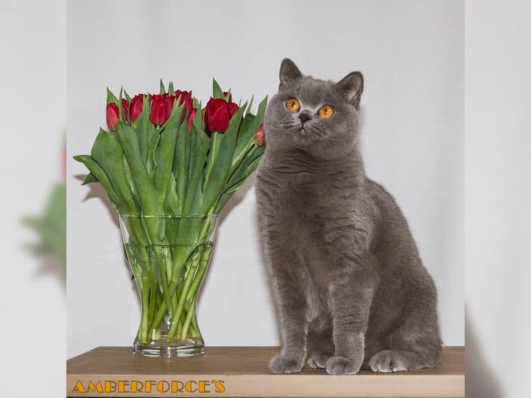 Bkh Katze Sucht Neues Zuhause Weil Im Sch 246 Nbuch Haustier Anzeiger