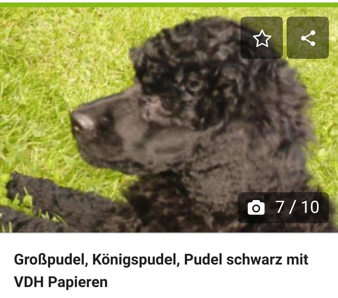 Pudel Welpen Mit Und Ohne Papiere Hunde Haustier Anzeiger