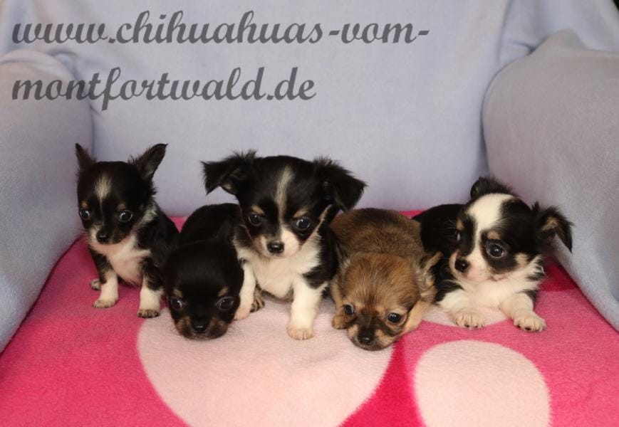 Chihuahua Welpen Rassehunde Hunde Welpen Haustier Anzeiger