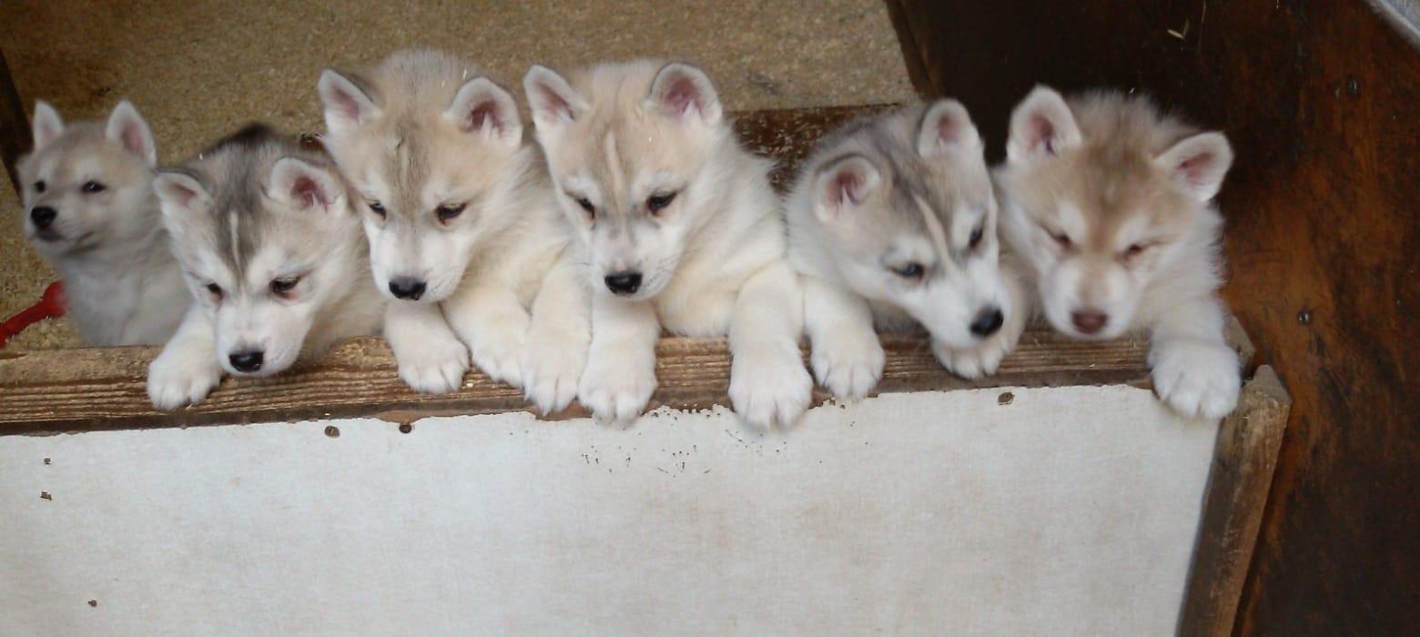 Husky Welpen Rassehunde Hunde Welpen Haustier Anzeiger