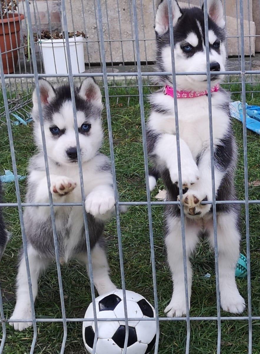 Husky Welpen Günstig Kaufen Hunde Haustier Anzeiger