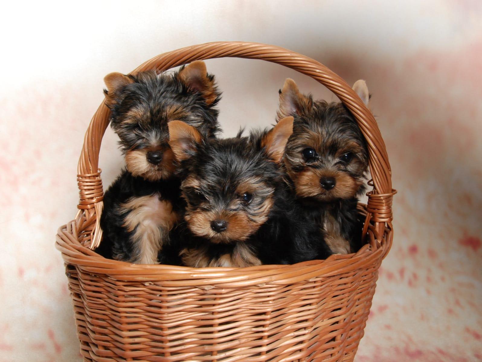 Yorkshire Terrier Welpen Rassehunde Hunde Welpen Haustier Anzeiger