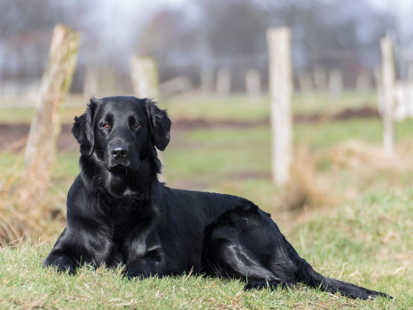 Flat Coated Retriever Welpen Rassehunde Hunde Welpen Haustier Anzeiger