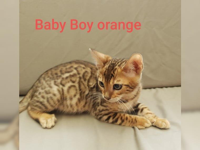 Bengal Kitten Frankfurt Am Main Haustier Anzeiger