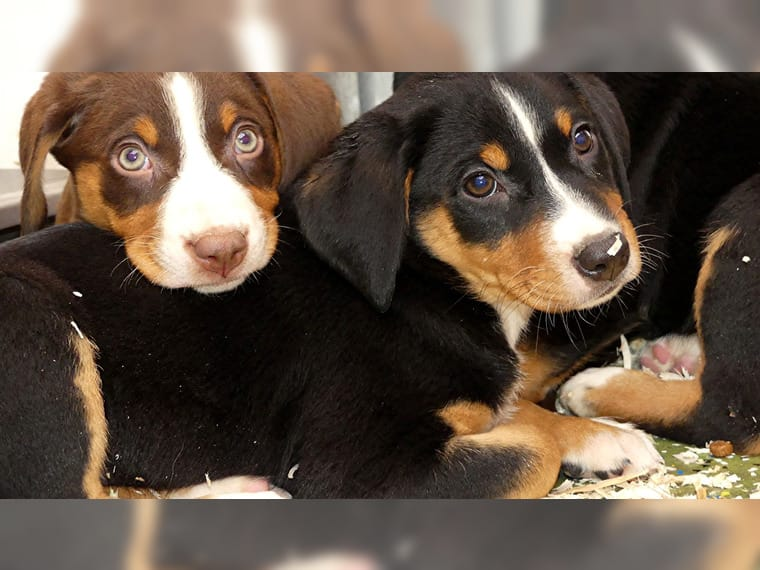 Appenzeller Sennenhund Welpen Wuppertal Haustier Anzeiger
