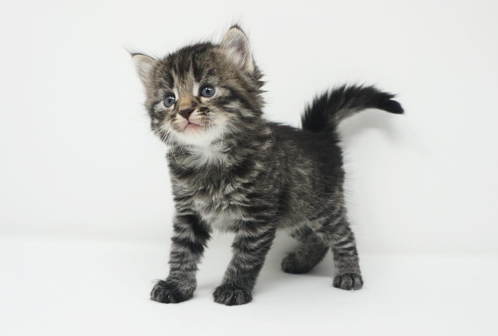 Baby katzen kaufen nrw