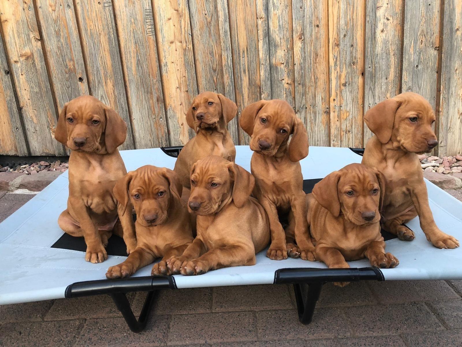 Magyar Vizsla Welpen Rassehunde Hunde Welpen Haustier Anzeiger