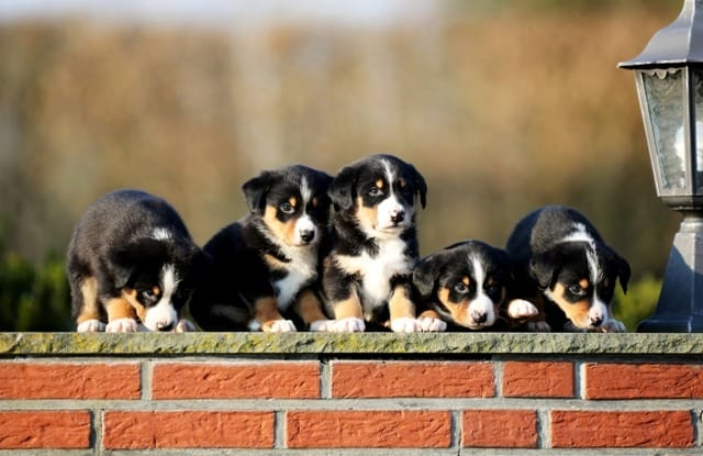 Appenzeller Sennenhund Welpen Rassehunde Hunde Welpen