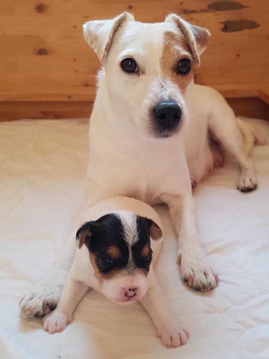 Parson Russell Terrier Welpen Rassehunde Hunde Welpen Haustier Anzeiger