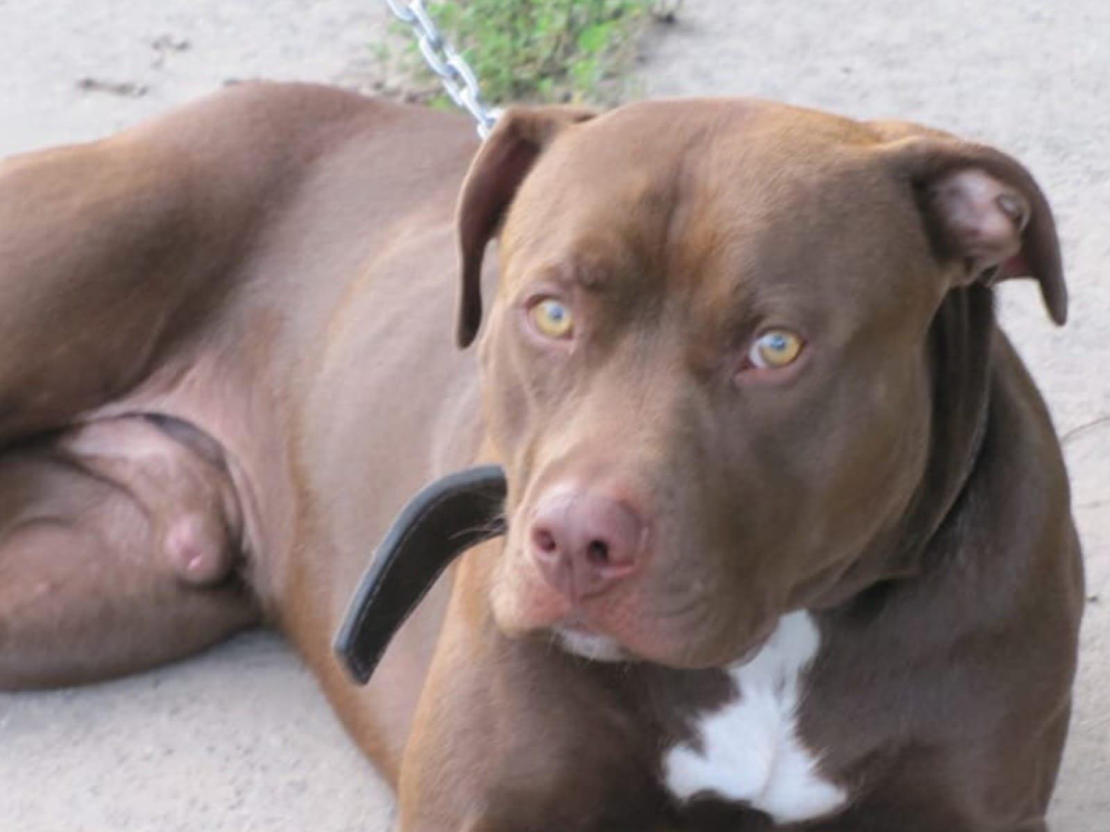 Welpen kaufen pitbull zu Pitbull Hunde