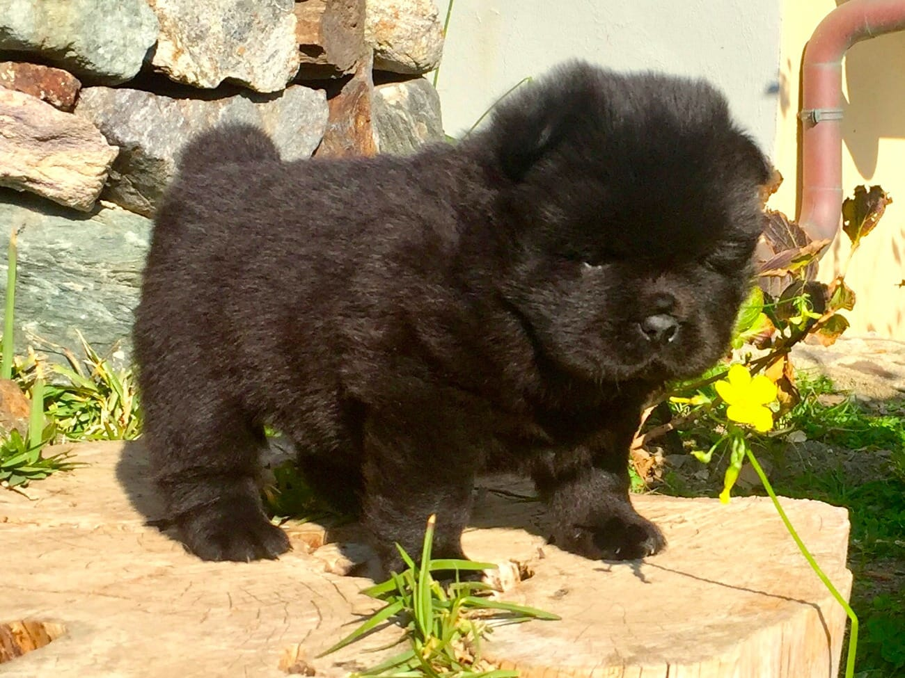 55+ Chow Chow Mix Husky Puppies