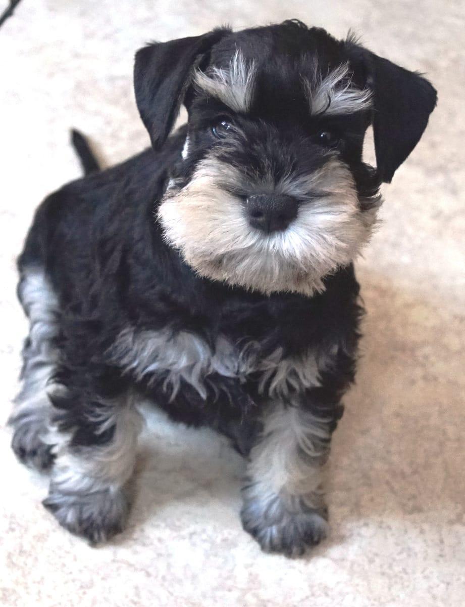 Zwergschnauzer Welpen Rassehunde Hunde Welpen Haustier