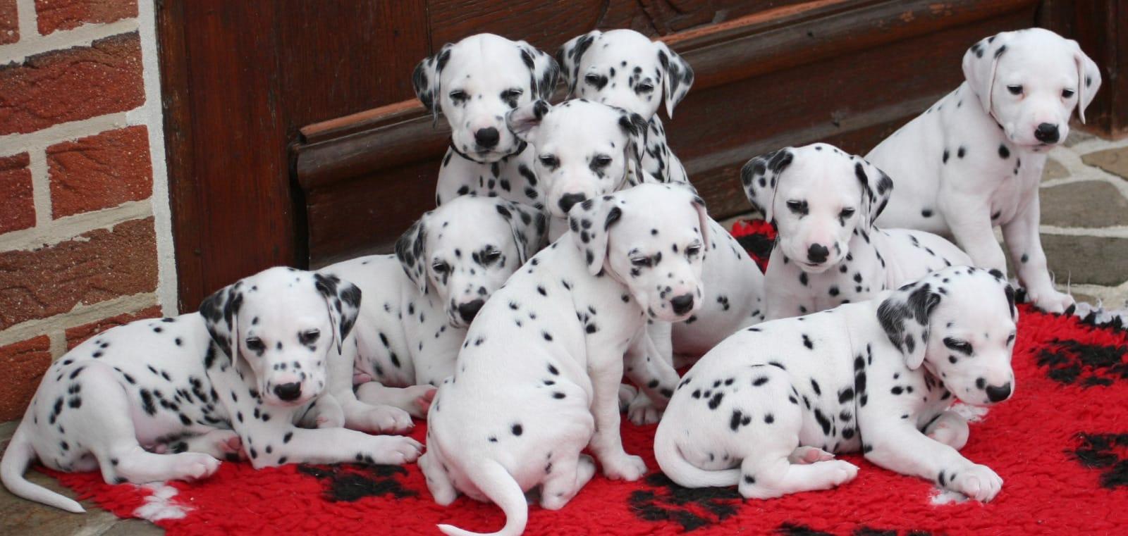 Dalmatiner Welpen Rassehunde Hunde Welpen Haustier Anzeiger