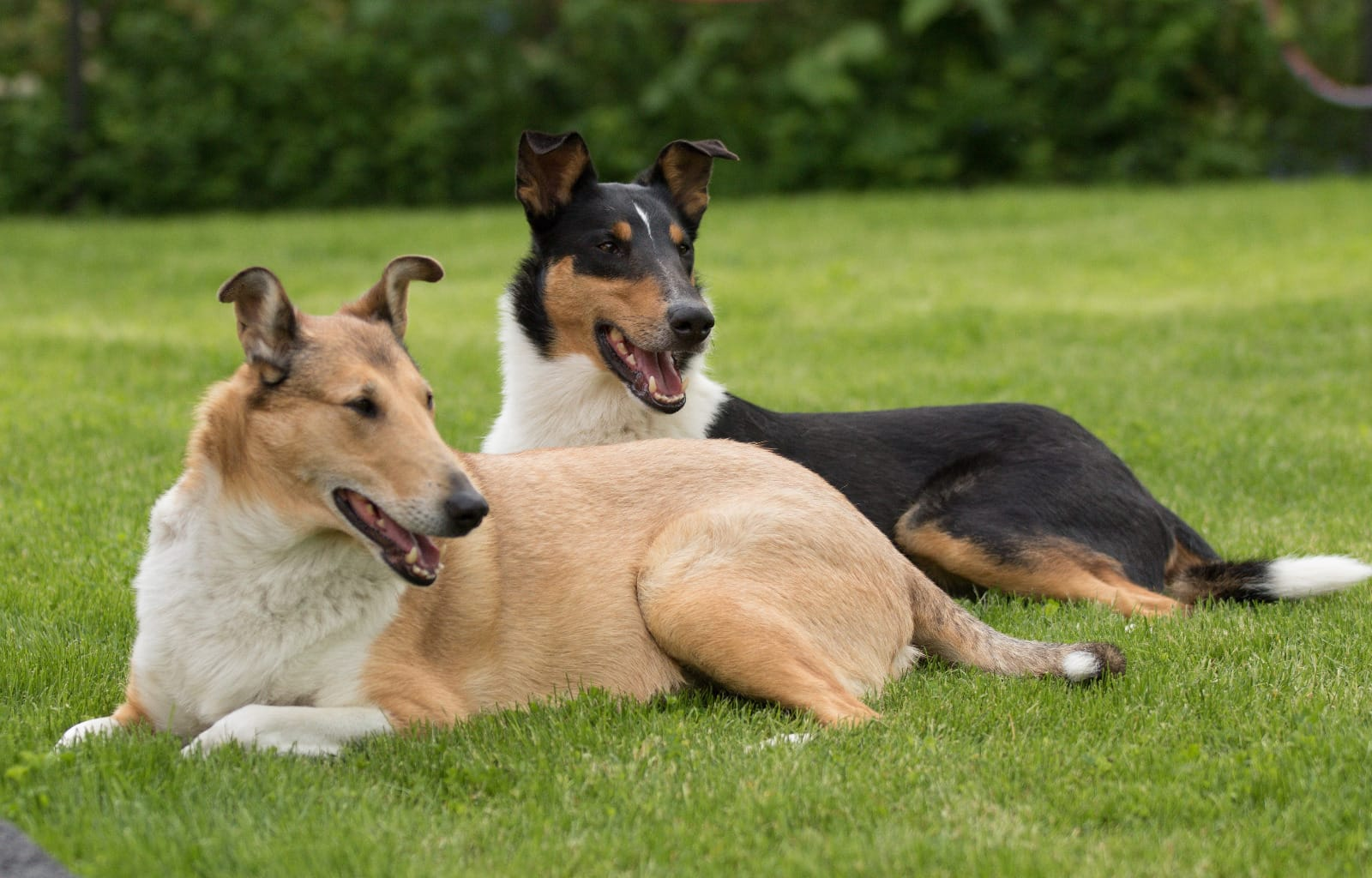 Collie Welpen Rassehunde Hunde Welpen Haustier Anzeiger