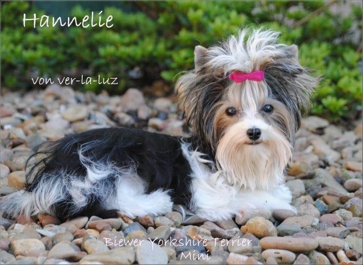Kleinanzeigen Yorkshire Terrier Yorkshire Terrier Welpen