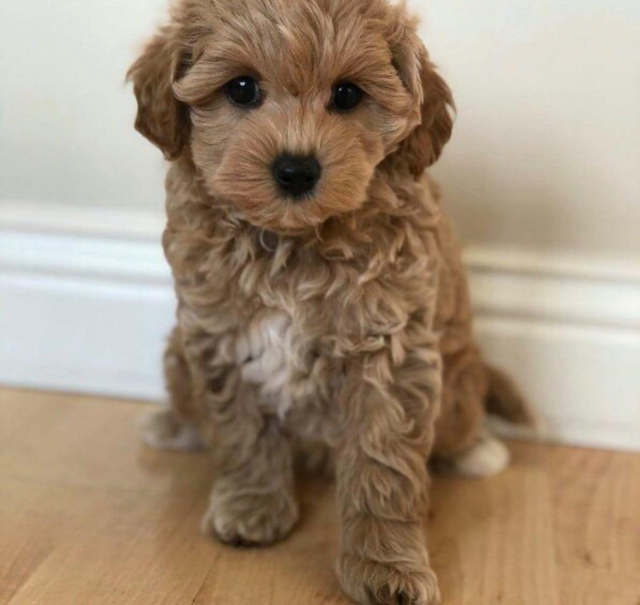 Maltipoo Hybrid Hunde Hunde Welpen Haustier Anzeiger