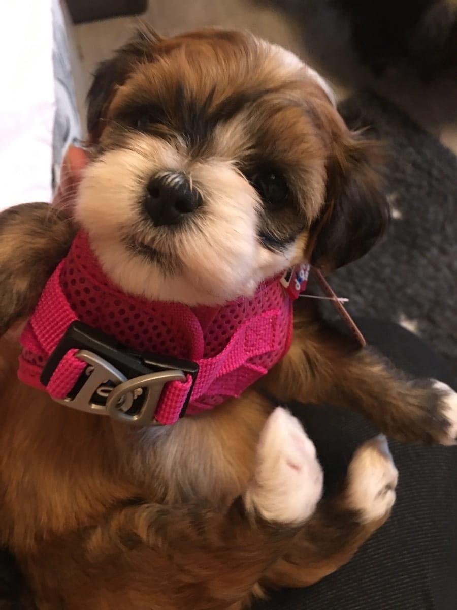 Havaneser Welpen Zu Verkaufen Hunde Haustier Anzeiger