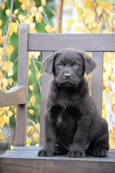 Labrador Welpen Mit Und Ohne Papiere Hunde Haustier Anzeiger