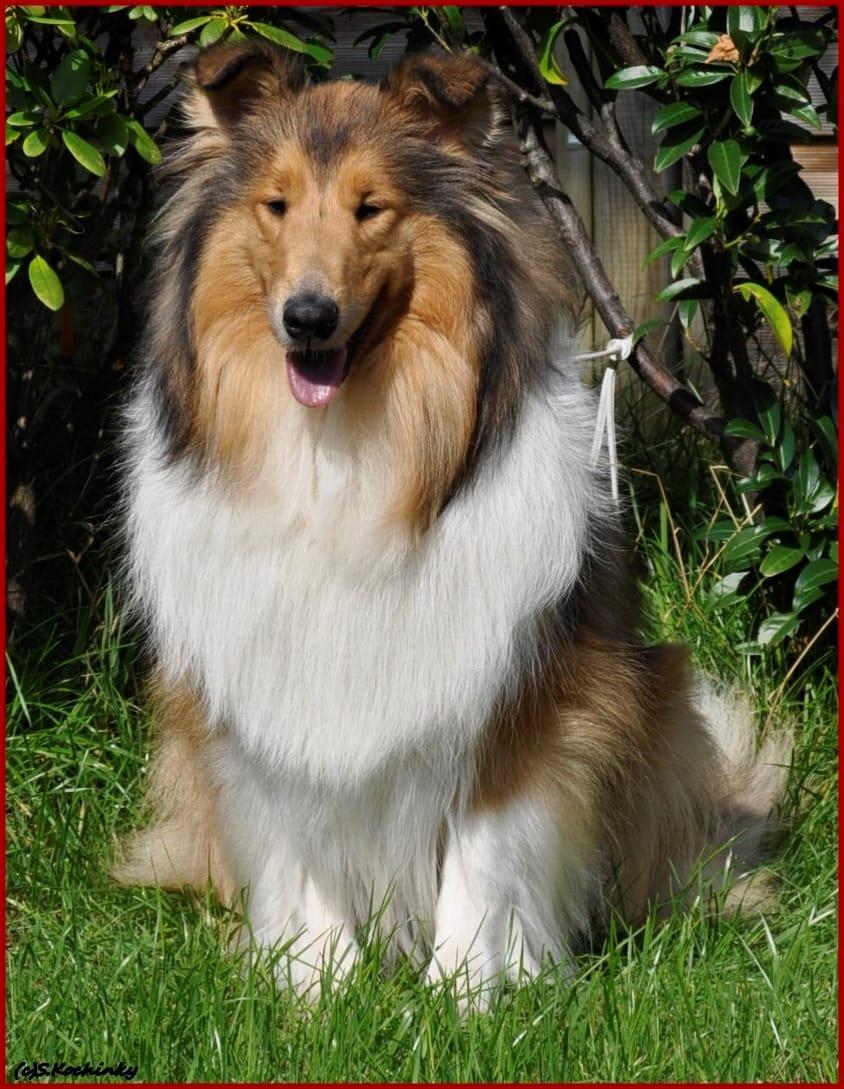 Collie Welpen Gunstig Kaufen Hunde Haustier Anzeiger