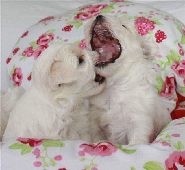 Malteser Welpen Gunstig Kaufen Hunde Haustier Anzeiger