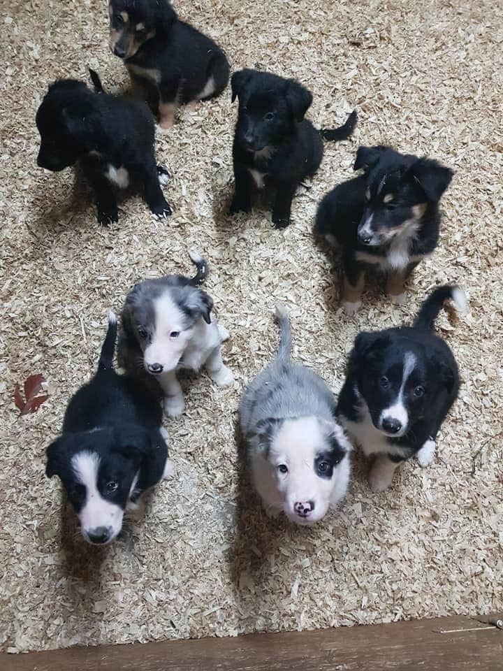Border Collie Welpen Rassehunde Hunde Welpen Haustier Anzeiger