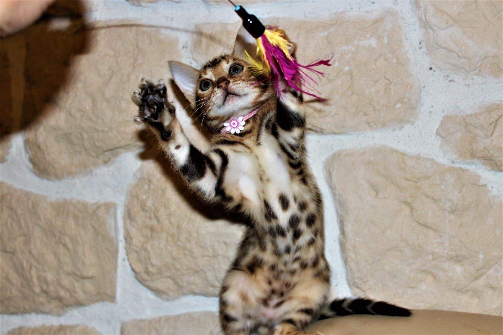 Rassekatzen Zu Verkaufen Katzen Haustier Anzeiger