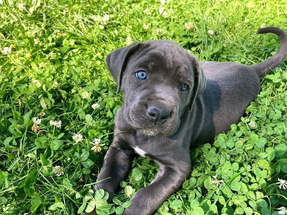Cane Corso Welpen Rassehunde Hunde Welpen Haustier Anzeiger