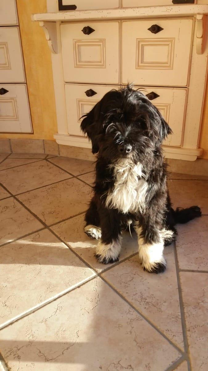 Tibet Terrier Welpen Rassehunde Hunde Welpen Haustier Anzeiger