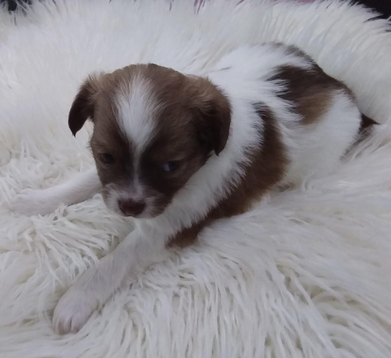 Chihuahua Welpen Gunstig Kaufen Hunde Haustier Anzeiger