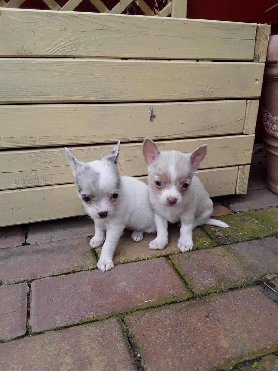 Chihuahua Welpen Mit Und Ohne Papiere Hunde Haustier Anzeiger