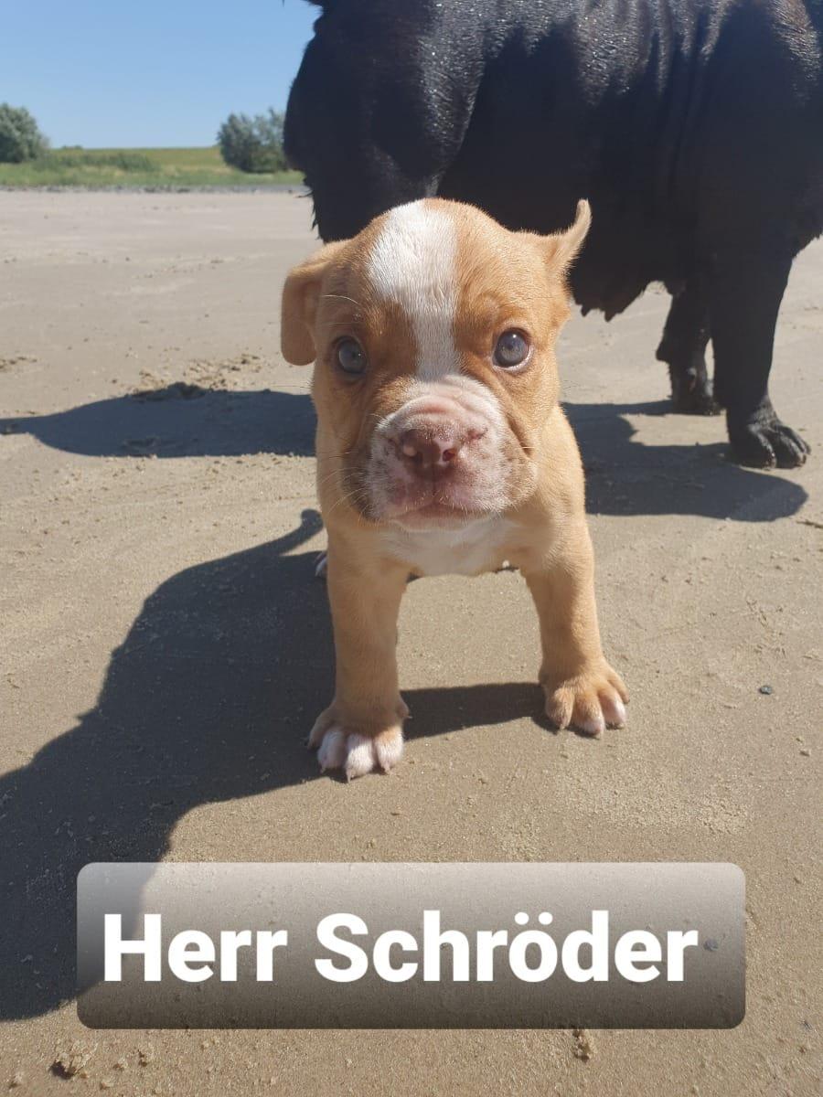 Bulldogge Welpen Rassehunde Hunde Welpen Haustier Anzeiger