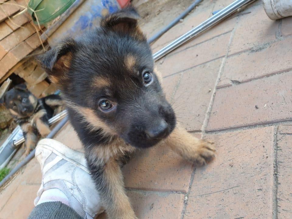 Deutscher Schaferhund Welpen Vom Zuchter Oder Privat Hunde Haustier Anzeiger