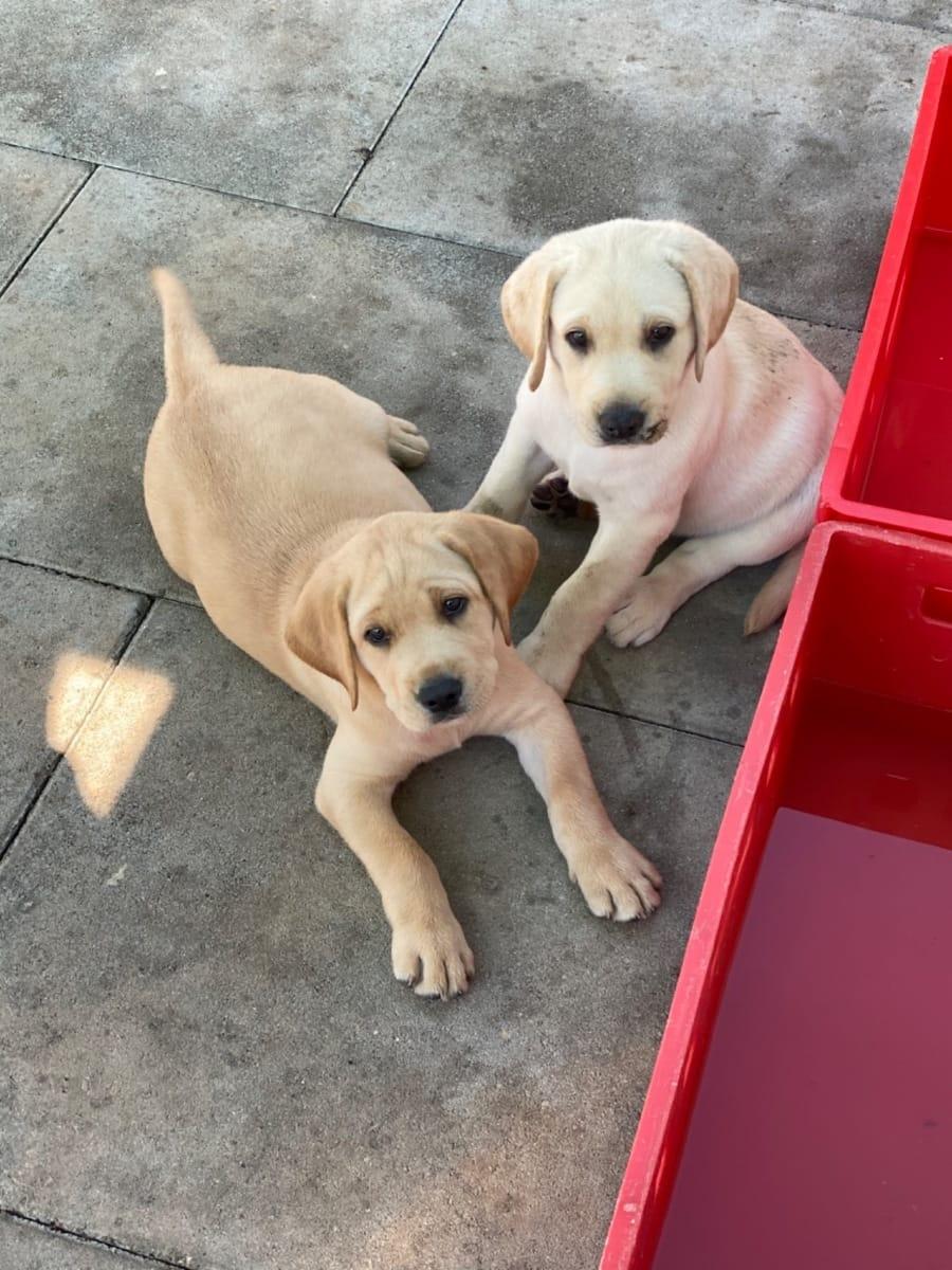 Labrador Welpen Gunstig Kaufen Hunde Haustier Anzeiger
