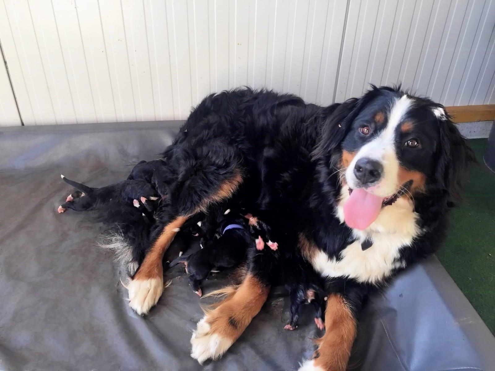 Berner Sennenhund Welpen Rassehunde Hunde Welpen Haustier Anzeiger