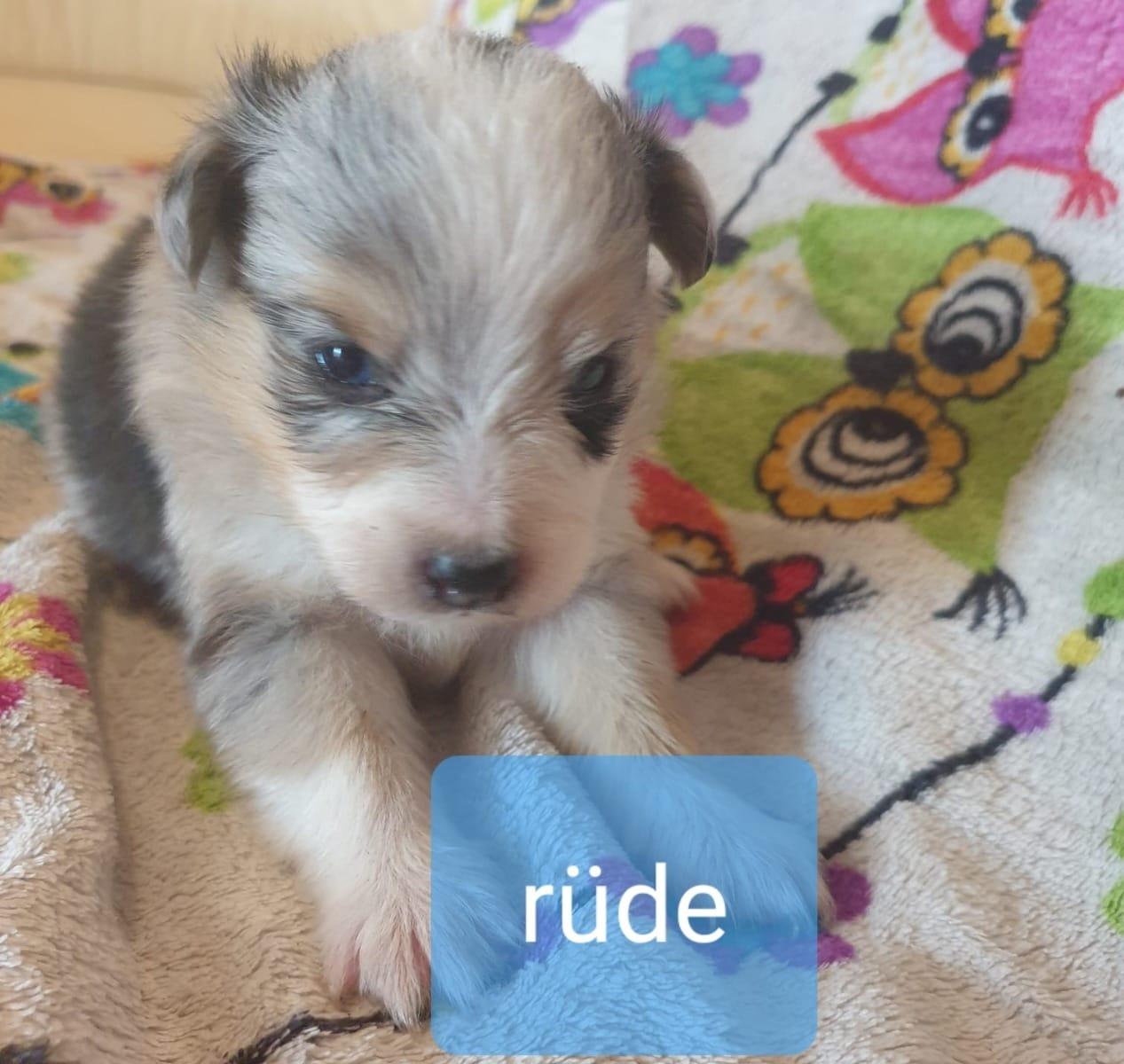 Sheltie Welpen Rassehunde Hunde Welpen Haustier Anzeiger