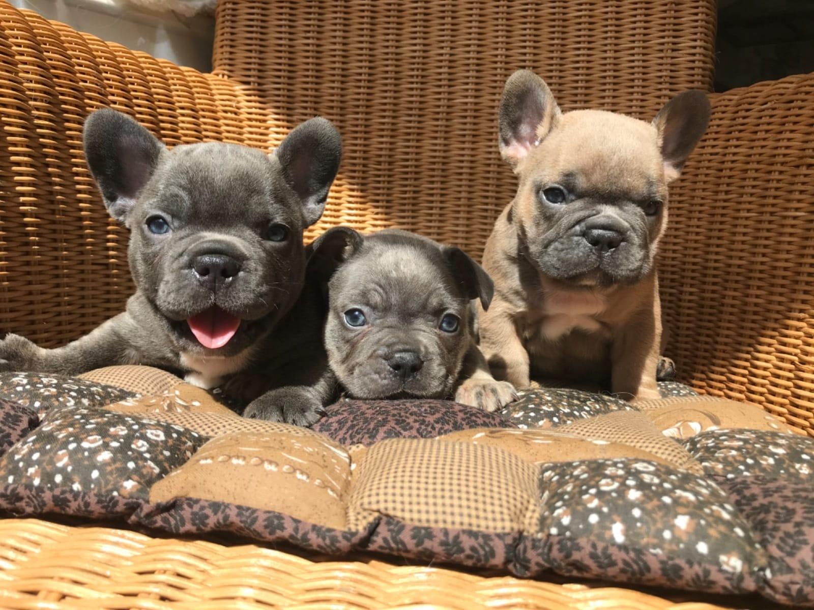 Franzosische Bulldogge Welpen Vom Zuchter Oder Privat Hunde