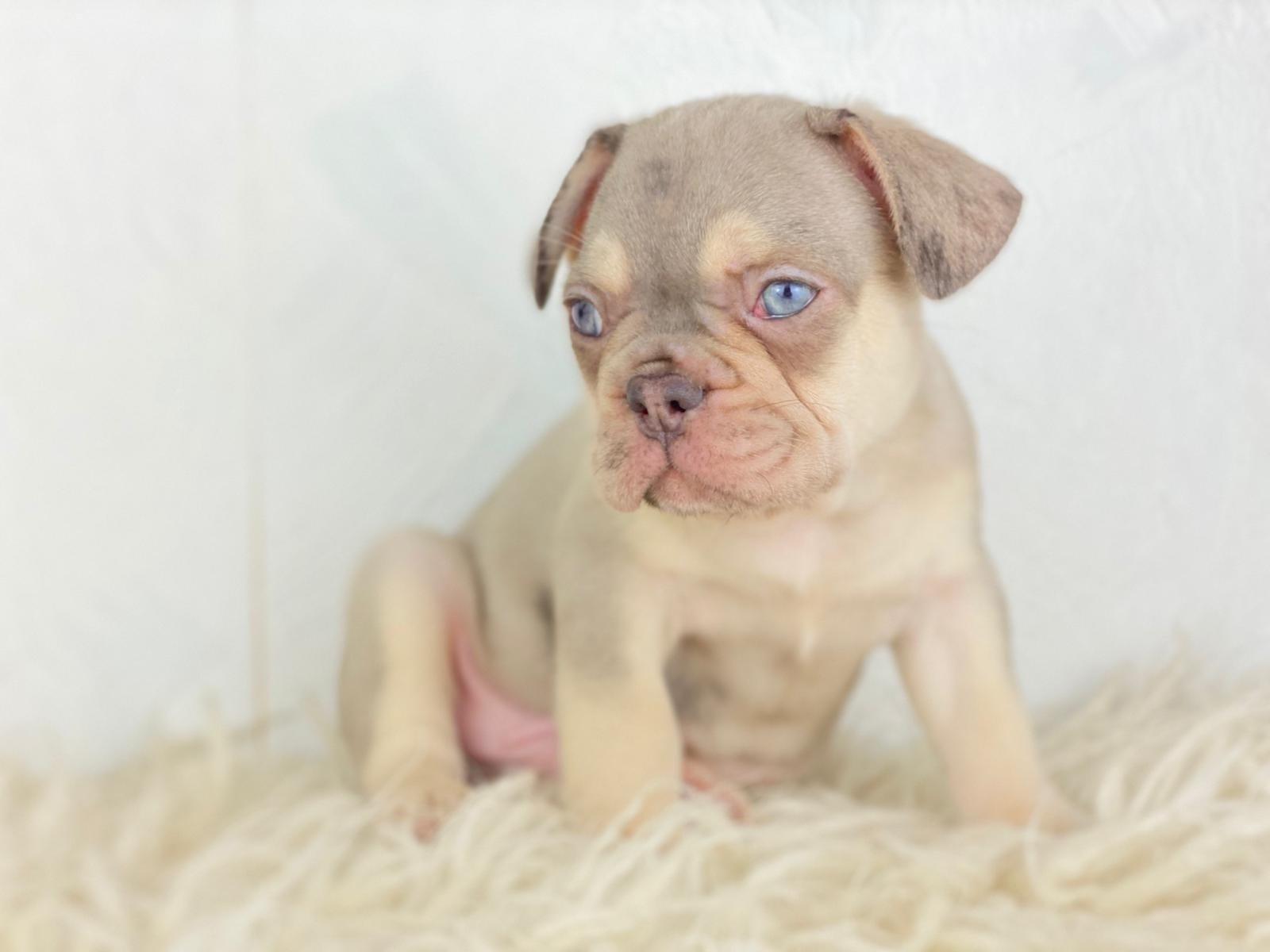 Franzosische Bulldogge Welpen Gunstig Kaufen Hunde Haustier Anzeiger