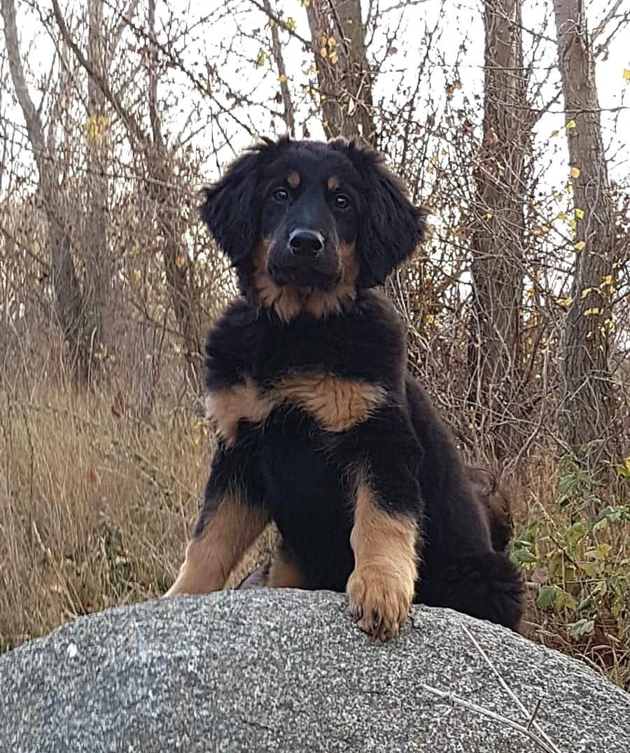 Hovawart Welpen Rassehunde Hunde Welpen Haustier Anzeiger