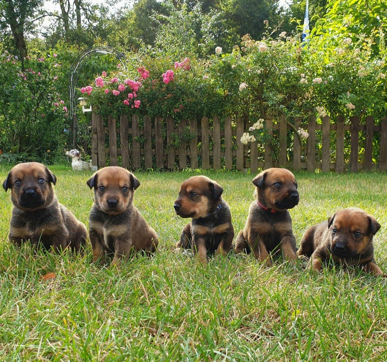 Mischlingshunde Hunde Welpen Haustier Anzeiger