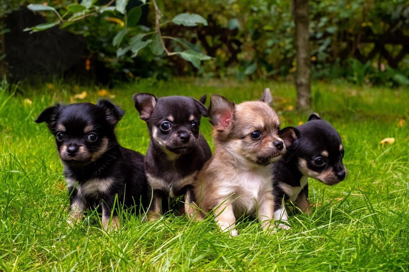 Chihuahua Welpen Vom Zuchter Oder Privat Hunde Haustier Anzeiger
