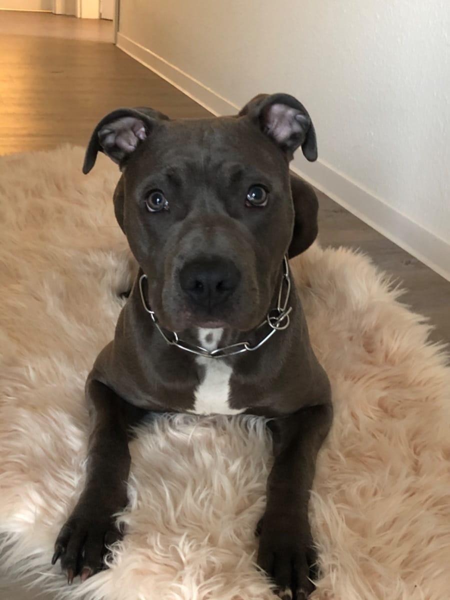 Staffordshire Terrier Welpen Gunstig Kaufen Hunde Haustier Anzeiger