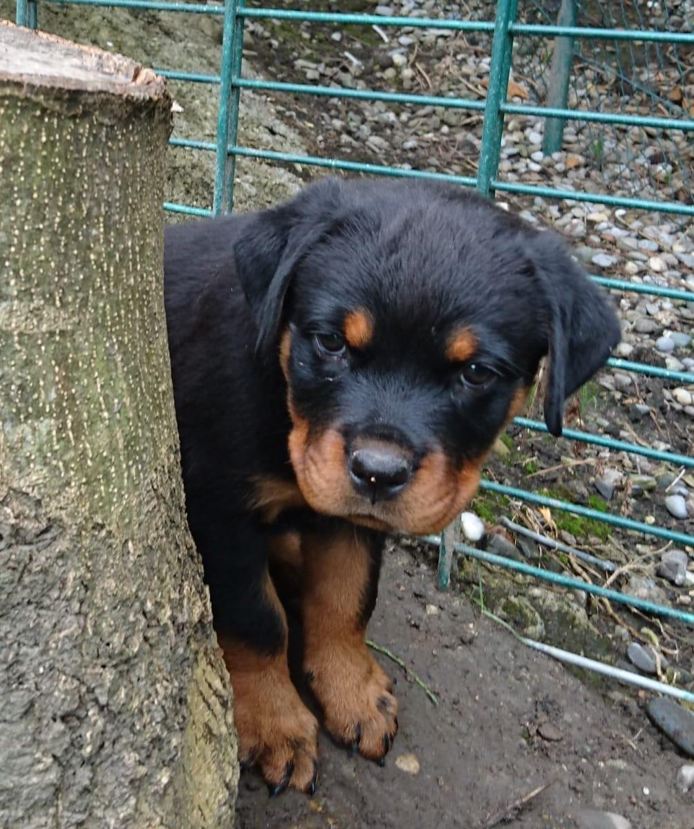 Rottweiler Welpen Rassehunde Hunde Welpen Haustier Anzeiger